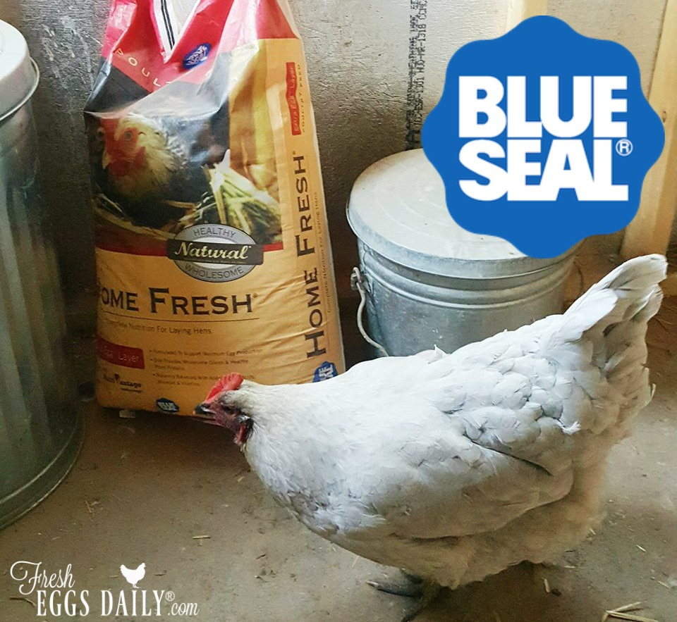 my chickens love blue seal kent feeds fresh eggs daily