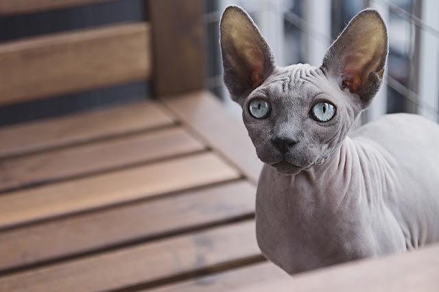 4 Cara Memandikan Kucing Sphynx