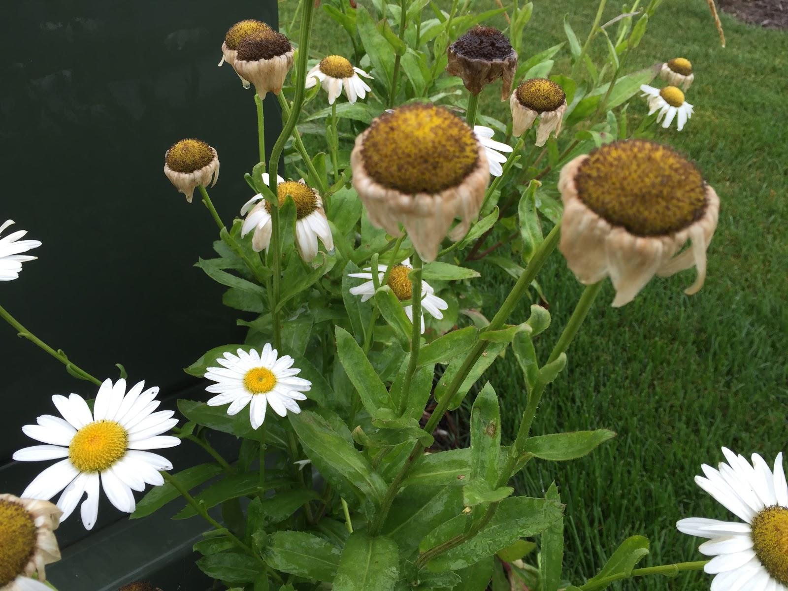 Dead head shasta daisy to encourage more flowers backyard neophyte old brown daisy flowers izmirmasajfo