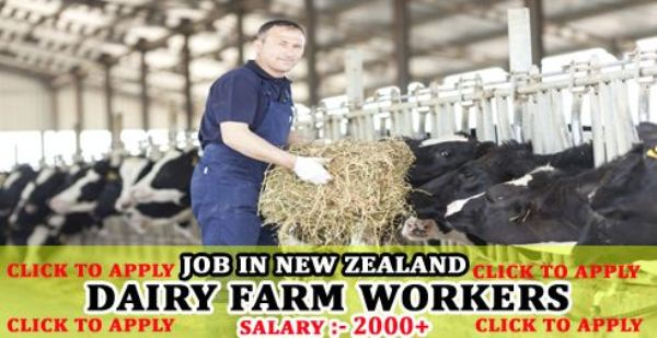 Dairy Farm Workers Job In New Zealand - Apply Now