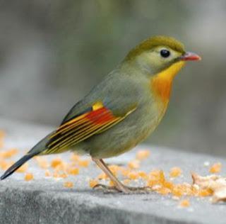Lagi,dengarkan suara burung pekin robin gacor