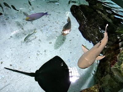 Little shark and stingray at Coex Aquarium Seoul