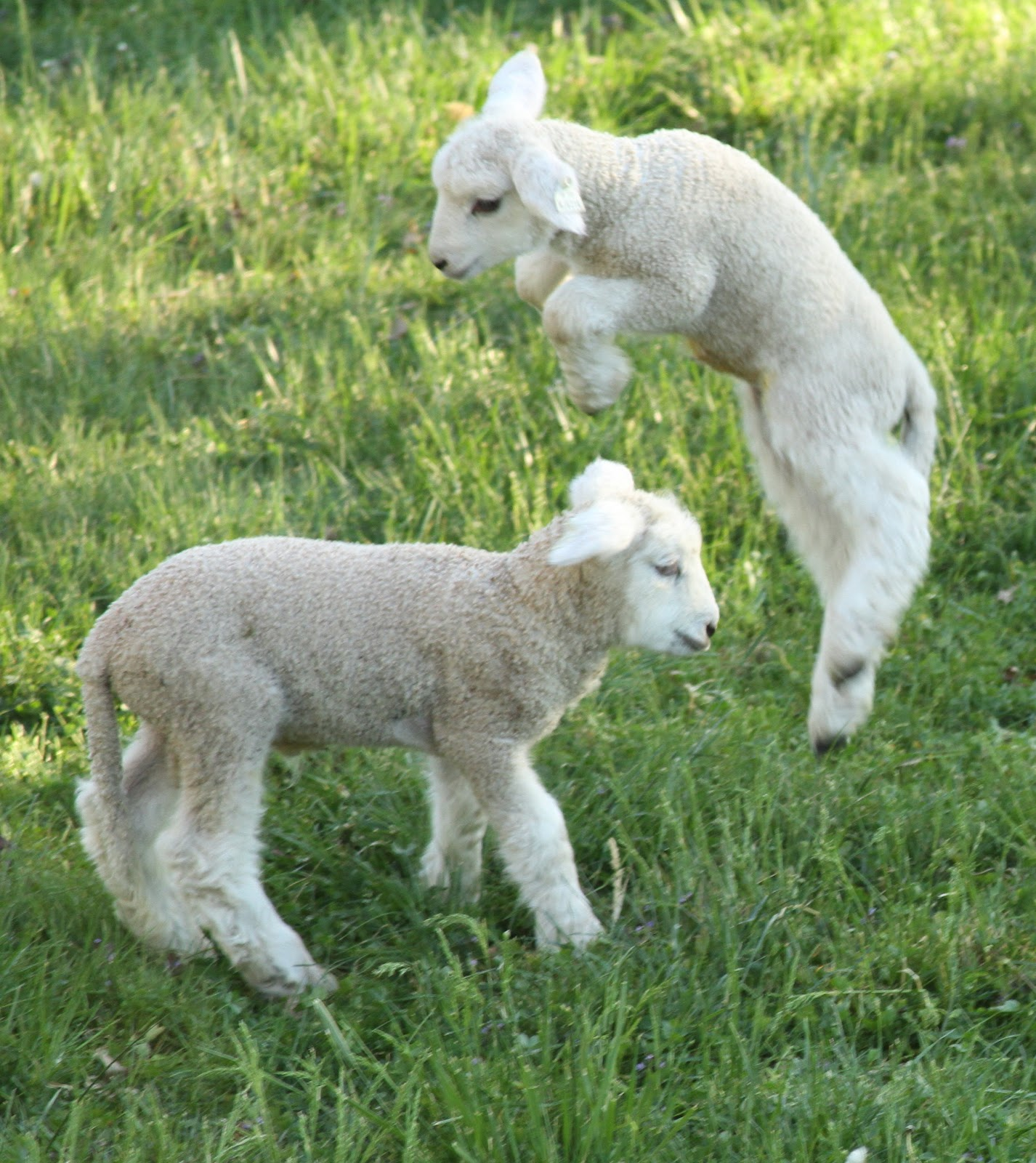 losing sleep counting sheep: lambs at play
