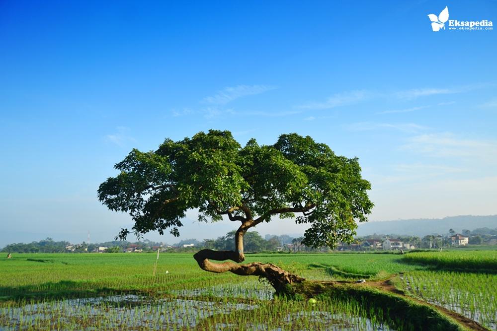 Hasil gambar untuk pohon pengantin