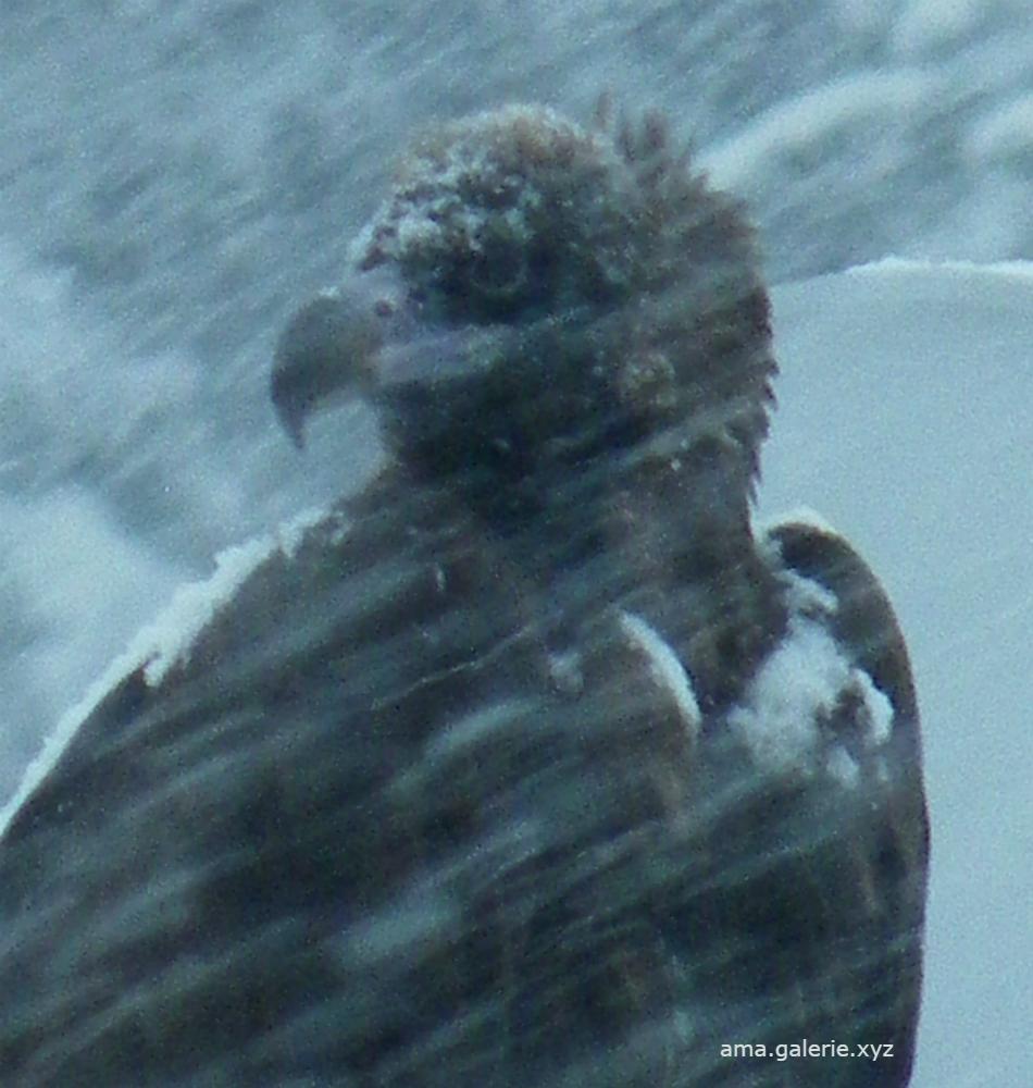 Nestor le vautour moine à Vergons, Alpes de Haute Provence