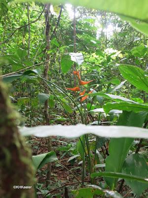 Heliconia, Costa Rica