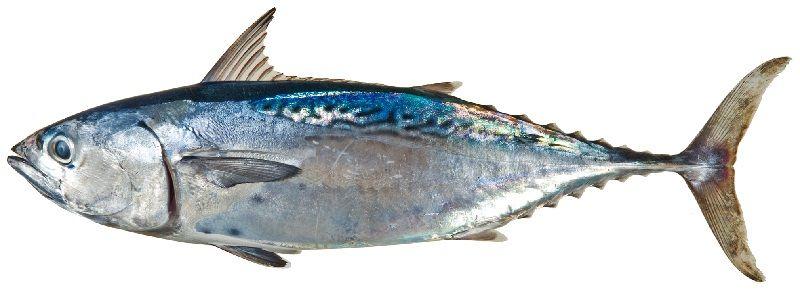 Gambar Jenis Ikan Tuna-Tuna kecil (Euthynnus alletteratus)
