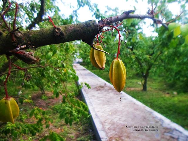 Ranumnya buah di Agrowisata Belimbing Karangsari