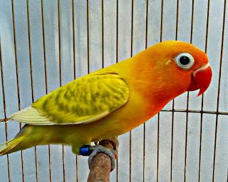 Lovebird Kepala Emas dan Blorok masih jadi Primadona
