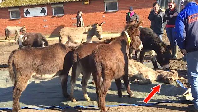 Donkeys mourns