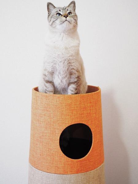 頂上に登ったシャムトラ猫