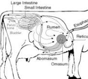 timpanismo-bovinos