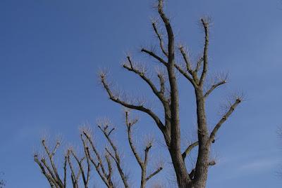 Kahle Bäume vor blauem, wolkenlosen Himmel