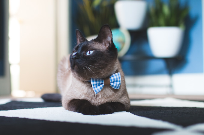 cat bowtie, bow collar