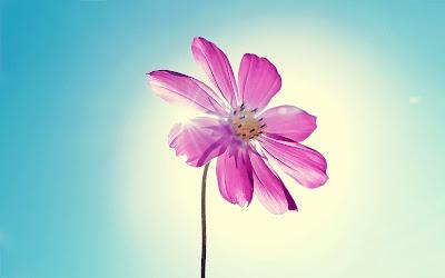 صور ورد وأزهار مميزة purple_magenta_flowe