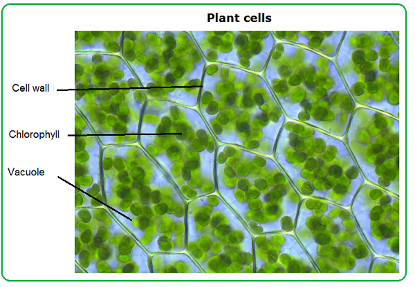 Real plant cells labeled