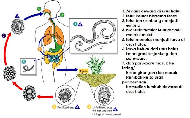 Siklus hidup Ascaris Lumbricoide