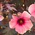 ẢNH HƯỞNG CỦA SALICYLIC ACID ĐẾN NHÂN GIỐNG IN VITRO VÀ KHẢ NĂNG CHỊU MẶN CỦA Hibiscus acetosella và Hibiscus moscheutos