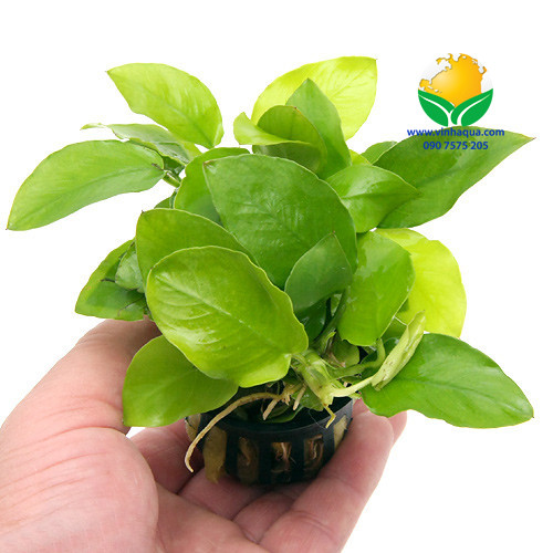 Tạp hóa thủy sinh - cây ráy lá vàng