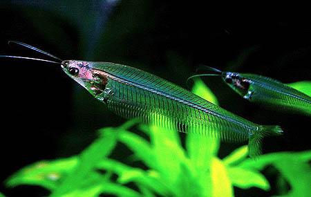 cá thủy tinh bơi thành đàn trong bể thủy sinh