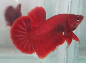 Jenis Ikan Hias Air Tawar Yang Mudah Dipelihara Cupang Plakat