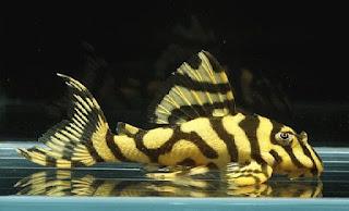 Jenis Ikan Sapu-Sapu Leopard Frog Pleco