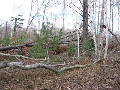 trees blown down