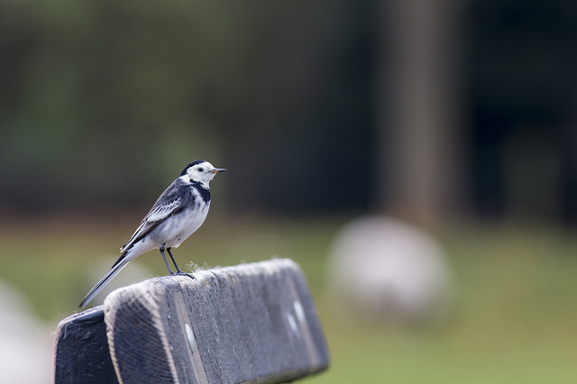 Pied Wagtail at home on a bench