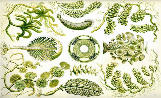 Alga Hijau (Chlorophyceae), Ciri-Ciri, Morfologi dan Klasifikasi