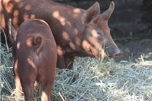 Tamworth Pigs At Riverdale Farm.
