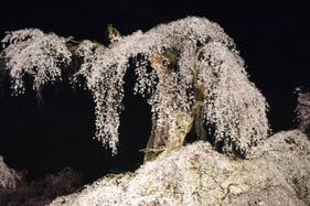 清雲寺の桜LEDでライトアップ