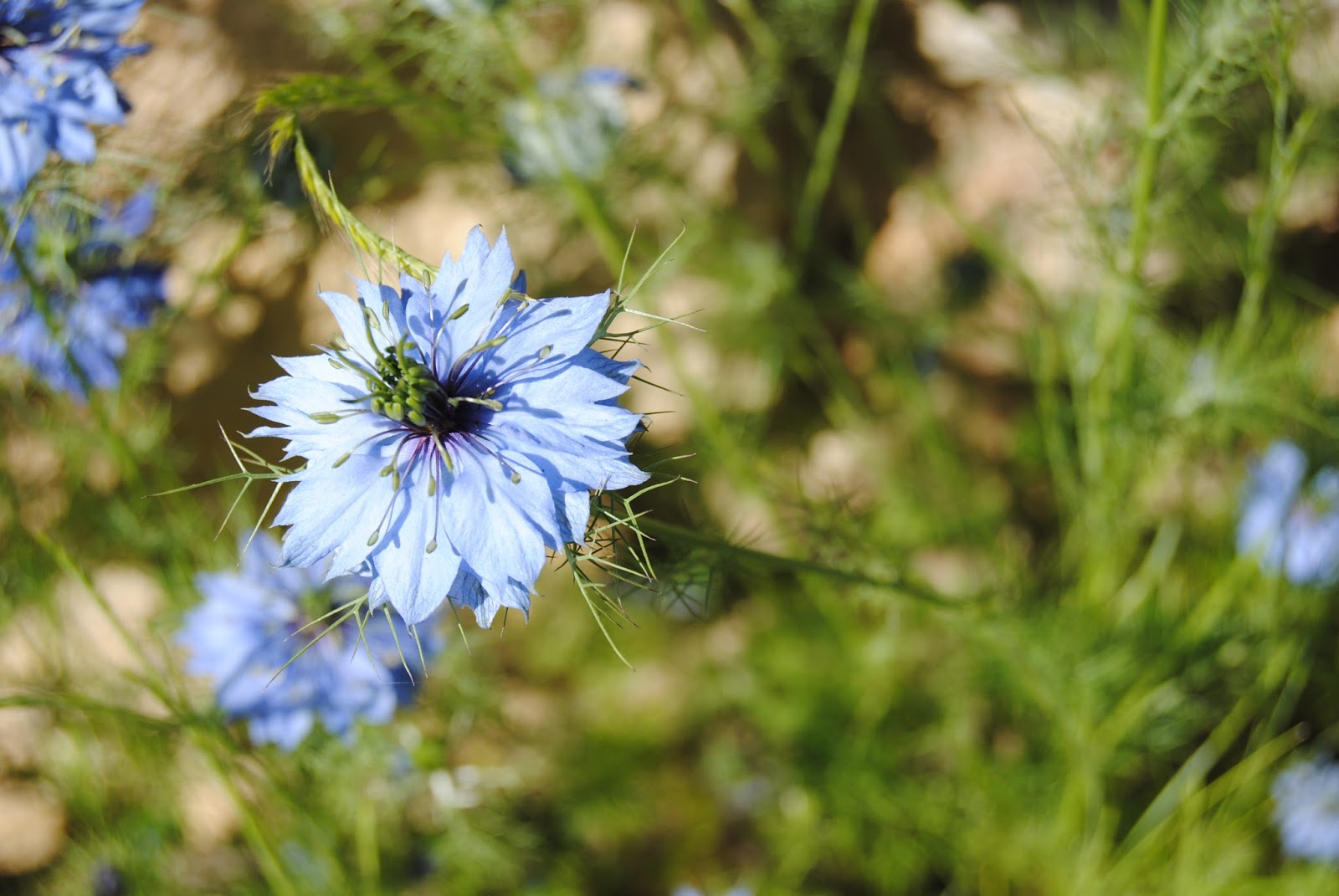 Nigella in La Roque-Gageac