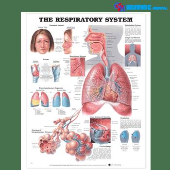 Anatomical Chart Sistem Pernafasan