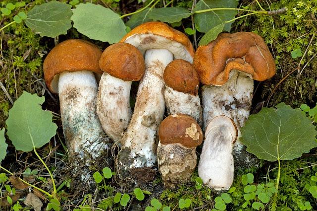 Leccinum albostipitatum