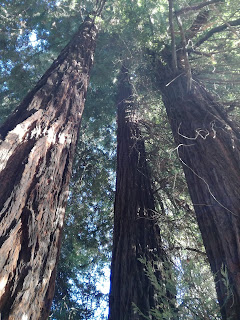 anche in piemonte ci sono le sequoie