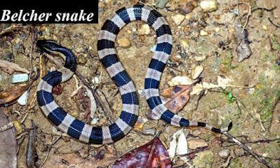 Belcher snake