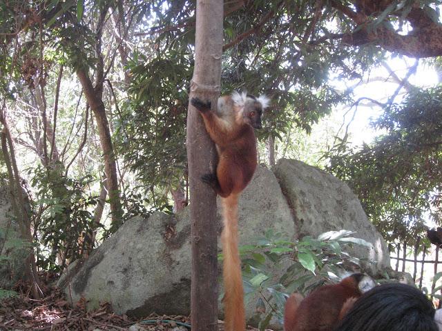 black lemur nosy komba