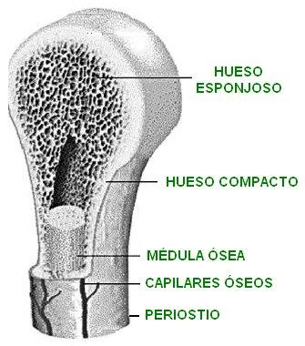 Sistema Òseo: ESTRUCTURA ÓSEA