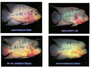 Cara Merawat Ikan Louhan Yang Tepat