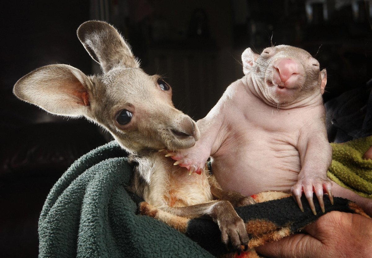 Hairless Wombat Pet Kangaroo joey and wombat joey