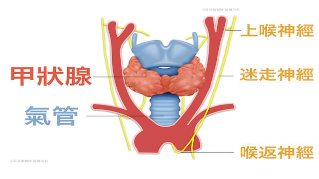 甲狀腺解剖位置