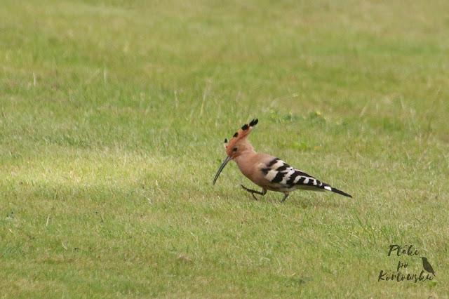 Dudek spacerujący po polu golfowym