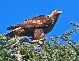 Bubba Smith Spot Golden Eagle Bird