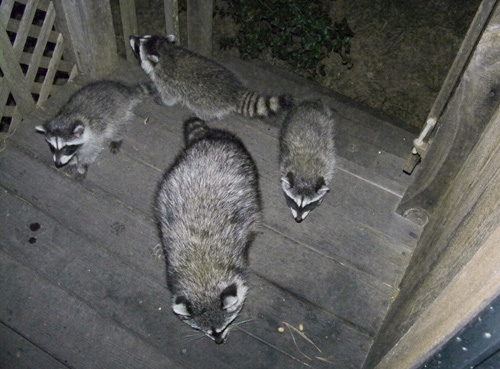 Alco Pest Control: Raccoon Removal NJ: Pest Control by the ...