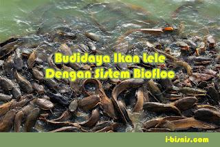 Budidaya ikan lele dengan sistem biofloc