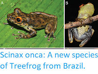 http://sciencythoughts.blogspot.co.uk/2017/10/scinax-onca-new-species-of-treefrog.html