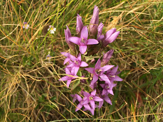Gentianella germanica – Chiltern Gentian (Genzianella tedesca).