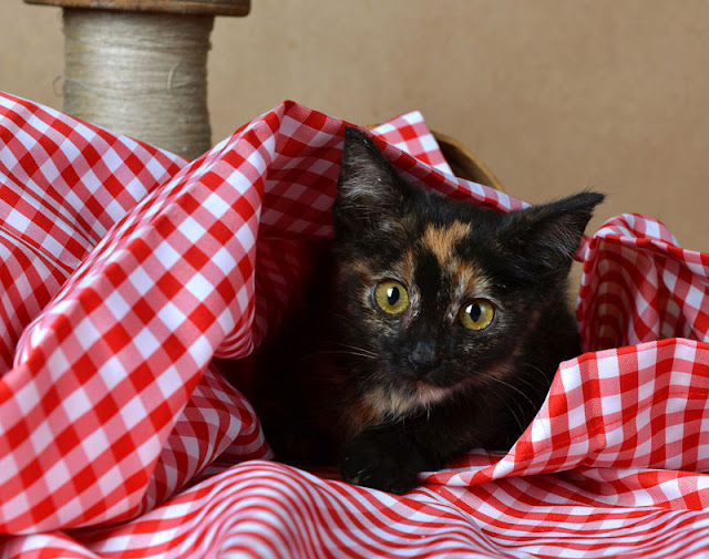 Eight ways to help your cat to go to the vet. Kittenhood is the best time to train cats to be handled. Photo shows tortoiseshell kitten in a red gingham throw