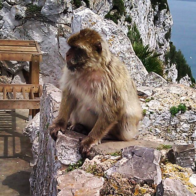 One of my new friends at the top of the rock. He's one of 300 or so Barbary Macaques that live here.