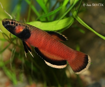 Betta Albimarginata Fish